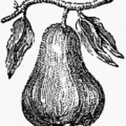 Botany: Pear Art Print