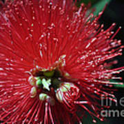 Bottle Brush Art Print by Joanne Kocwin