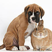 Boxer Puppy And Netherland-cross Rabbit Art Print