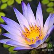 Bright Blue Water Lily Art Print
