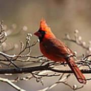 Bright Bold - Cardinal Art Print