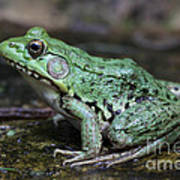 Bright Green Bullfrog Art Print by Chris Hill