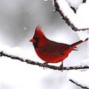 Bright In The Snow - Cardinal Art Print