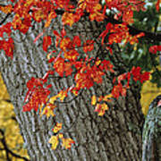 Bright Red Maple Leaves Against An Oak Art Print by Tim Laman