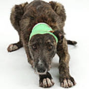 Brindle Lurcher Wearing A Bandage Art Print