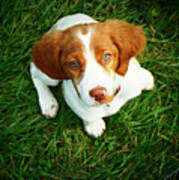 Brittany Spaniel Puppy Print by Meredith Winn Photography