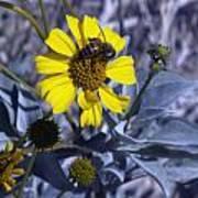 Brittlebush Bee Art Print