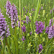 Broad-leaved Marsh Orchid Dactylorhiza Art Print