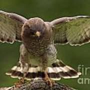 Broad Winged Hawk Art Print