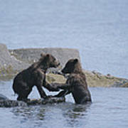 Brown Bear Cubs Playing On A Rocky Art Print