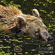 Brown Bear Swimming Art Print