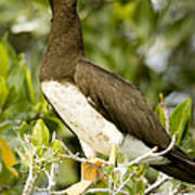 Brown Booby Sula Leucogaster Art Print