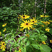Brown-eyed Susan In The Woods Art Print by Gary Eason