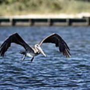 Brown Pelican - Low Flyer Art Print