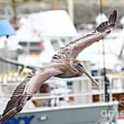 Brown Pelican . 7d8228 Art Print