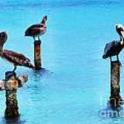 Brown Pelicans In Aruba Print by Thomas R Fletcher