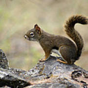 Brown Squirrel In Spokane Art Print