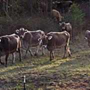 Brown Swiss Cows Coming Home Art Print