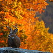 Buck In The Fall 02 Art Print