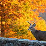 Buck In The Fall 06 Art Print by Metro DC Photography