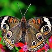 Buckeye Buttterfly Art Print