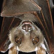 Buettikofers Epauletted Bat Epomops Art Print