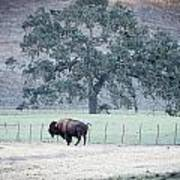 Buffalo And An Oak Tree Art Print