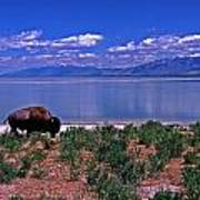 Buffalo And The Great Salt Lake Art Print