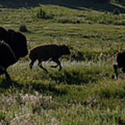Buffalo Bison Roaming In Custer State Park Sd.-1 Art Print