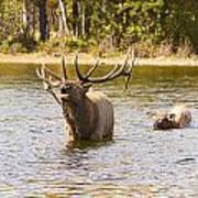 Bugling Bull Elk And Calf Colorado Rut 4 Art Print