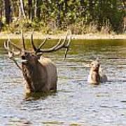 Bugling Bull Elk And Calf Colorado Rut 5 Art Print