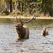 Bugling Bull Elk And Calf Colorado Rut  Art Print