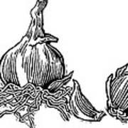 Bulbs Of Garlic, Woodcut Art Print by Gary Hincks