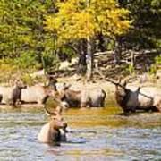 Bull Elk Watching Over Herd 4 Art Print
