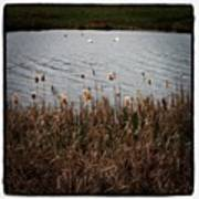 Bull Rushes And Swans Art Print