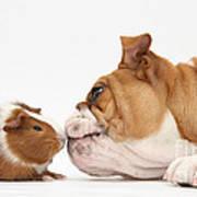 Bulldog & Guinea Pig Art Print