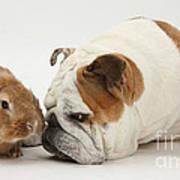 Bulldog And Lionhead-cross Rabbit Art Print