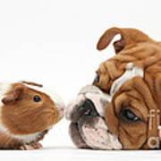 Bulldog Pup Face-to-face With Guinea Pig Art Print