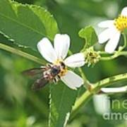 Bumble Bee 1 Art Print