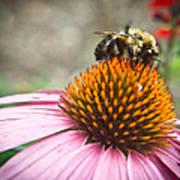 Bumble Bee Feeding On A Coneflower Art Print