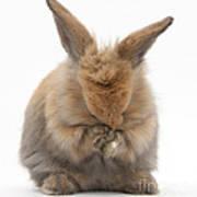 Bunny Grooming Art Print