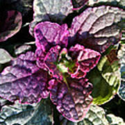 Burgundy Glow Bugleweed Art Print
