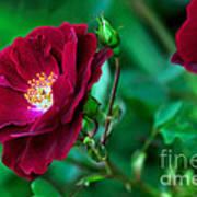 Burgundy Iceberg Rose Art Print