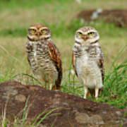 Burrowing Owl Art Print by Antonello