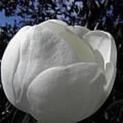 Bursting Magnolia Art Print
