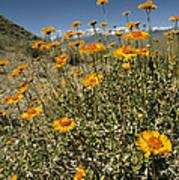 Bush Sunflowers Grow On Arid Slope Art Print
