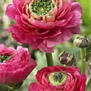 Buttercup Ranunculus Sp Mirabelle Vert Art Print