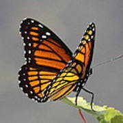 Butterfly - Sitting On The Green Art Print
