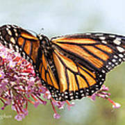 Butterfly Beauty - Monarch IIi Art Print