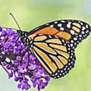 Butterfly Beauty-monarch Art Print